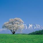 岩手一本桜